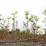 Climate change causes this destructive plant to spread, but it can be used to fight it too