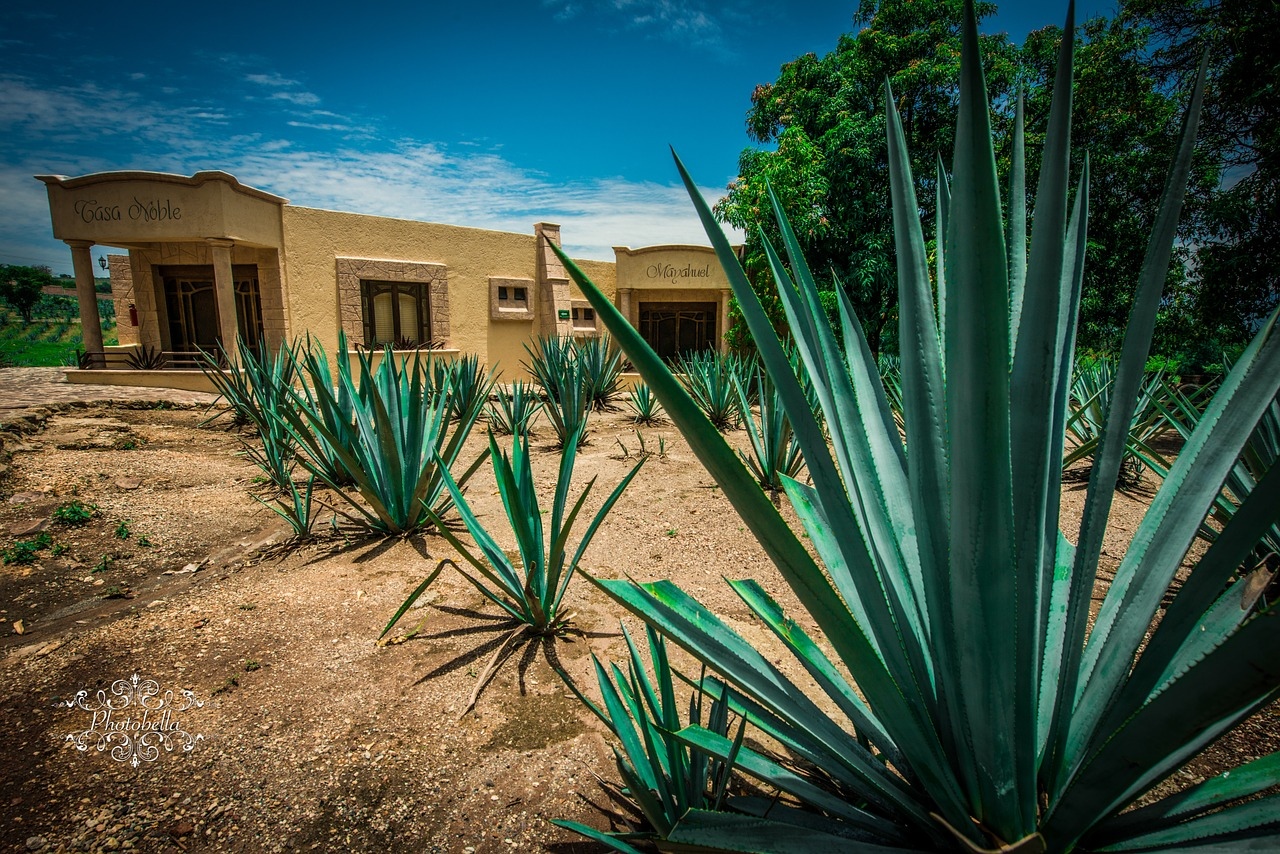 tequila-agave-plant