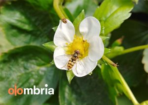 Olombria, tech startup, ag tech, agriculture, hoverflies