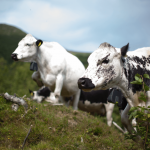 Nofence: The Norwegian scaleup using technology to help farmers graze animals without the need for traditional electric fencing