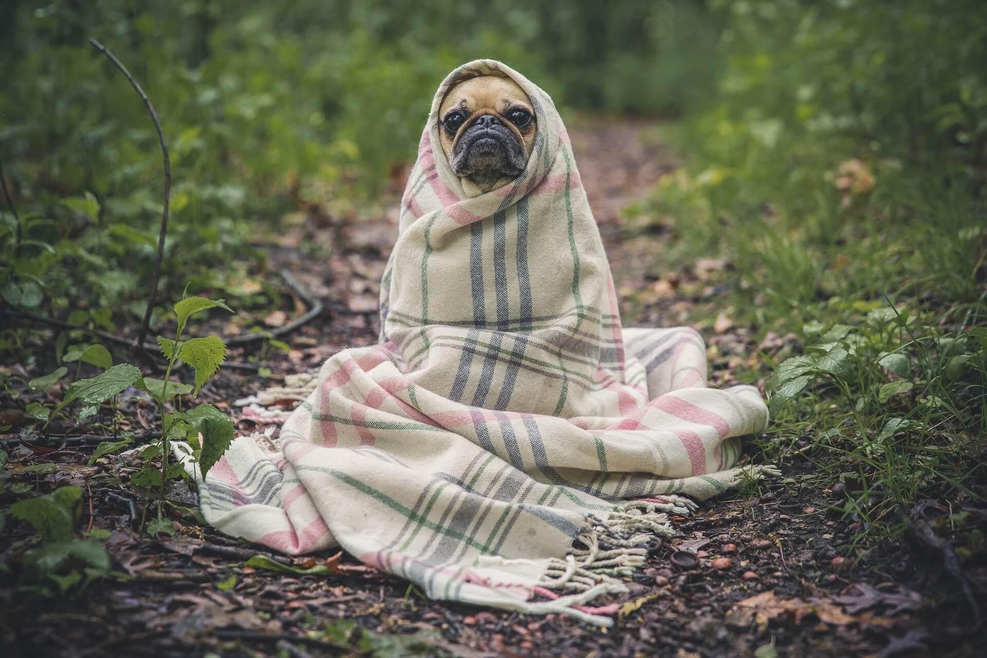 pug-dog-insurance